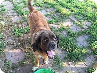 Golden Retriever/St. Bernard Mix Dog for adoption in Des Moines, Iowa - Jax