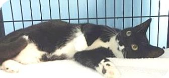 Domestic Mediumhair Cat for adoption in Lincolnton, North Carolina - Kevin $20