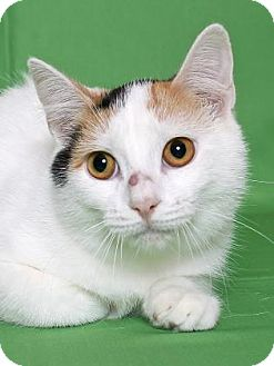 Calico Cat for adoption in Gloucester, Virginia - MINNIE