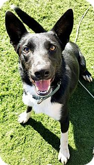 Border Collie Dog for adoption in Plymouth, Indiana - Beck