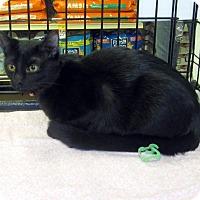 Adopt A Pet :: Copper Penny - Overland Park, KS