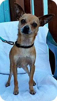 Chihuahua Puppy for adoption in Kansas City, Missouri - Dale