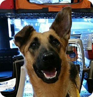 German Shepherd Dog Dog for adoption in Kansas City, Missouri - Gabby