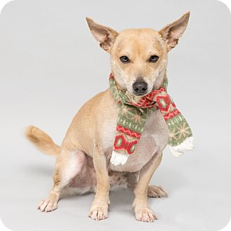 Chihuahua Mix Dog for adoption in Westfield, New York - Jazzy