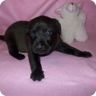 Labrador Retriever Mix Puppy for adoption in Shirley, New York - Brownie