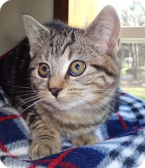Domestic Shorthair Kitten for adoption in N. Billerica, Massachusetts - Pandora