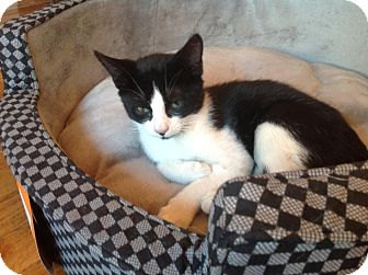 Domestic Shorthair Kitten for adoption in Brooklyn, New York - Wobble