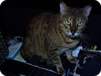 Bengal Cat for adoption in Lantana, Florida - Nutmeg