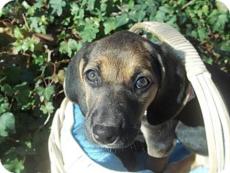 Black and Tan Coonhound/Hound (Unknown Type) Mix Puppy for adoption in Somers, Connecticut - Flair