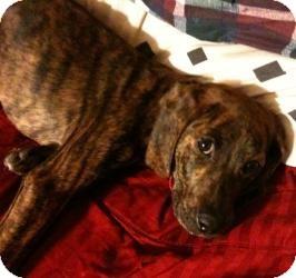 Plott Hound/Labrador Retriever Mix Dog for adoption in Sacramento, California - Raven