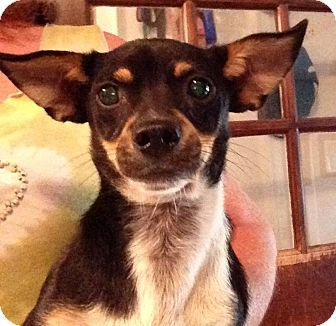 Chihuahua Puppy for adoption in Dundee, Florida - Poncho