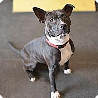 Adopt A Pet :: Mia - Des Peres, MO