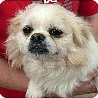 Adopt A Pet :: Bruiser - Harrison, AR