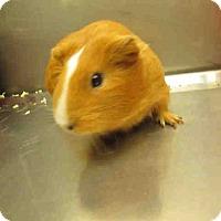 Adopt A Pet :: *Urgent* Dorothy - Fullerton, CA
