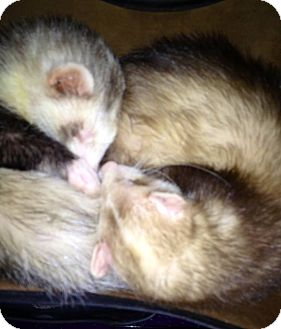 Ferret for adoption in Beach, North Dakota - Gus and Jackson