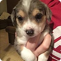 Adopt A Pet :: Kendal - Henderson, NV