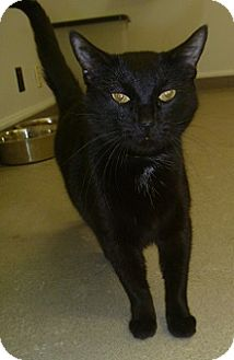 Domestic Shorthair Cat for adoption in Hamburg, New York - Black Jack
