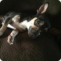 Chihuahua/Rat Terrier Mix Dog for adoption in Sacramento, California - Irma