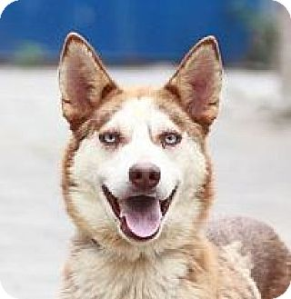 Husky Mix Dog for adoption in San Francisco, California - Iris
