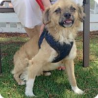 Adopt A Pet :: Buddy (A) - Santa Ana, CA