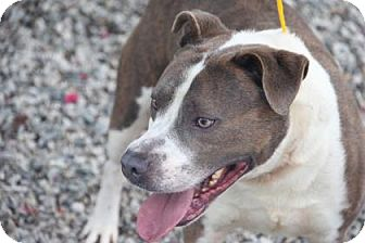 Pit Bull Terrier Mix Dog for adoption in Greensboro, North Carolina - Fido