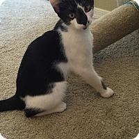 Domestic Shorthair Cat for adoption in Chandler, Arizona - Moo Moo