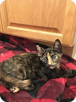 Domestic Shorthair Kitten for adoption in North Brunswick, New Jersey - Lucy