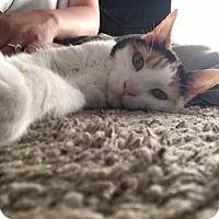 Domestic Shorthair Cat for adoption in Edina, Minnesota - Piper *Declawed* C160246