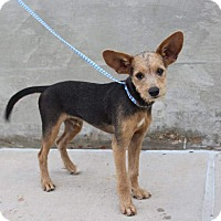 Adopt A Pet :: Chase - Middlebury, CT