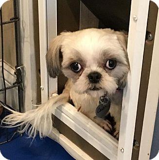 Shih Tzu Dog for adoption in Atlanta, Georgia - Cassie