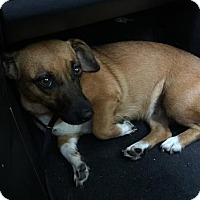 Corgi Mix Dog for adoption in Alpharetta, Georgia - Alasia