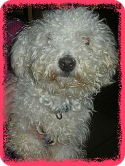 Bichon Frise Dog for adoption in Tulsa, Oklahoma - Adopted!!Bigelow - IL