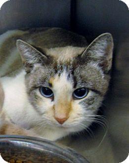 Siamese Cat for adoption in Stillwater, Oklahoma - Smokey