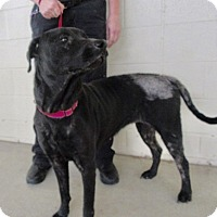 Adopt A Pet :: Dimples - North Richland Hills, TX