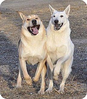 German Shepherd Dog/Shar Pei Mix Dog for adoption in Dodson, Montana - Mercy