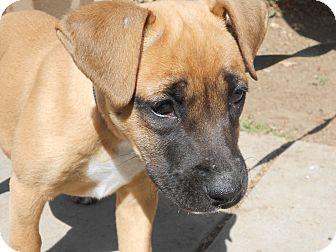 German Shepherd Boxer Mix Puppies Boxer/german shepherd dog mix