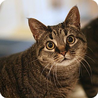 Domestic Shorthair Cat for adoption in Columbia, Maryland - Betsy