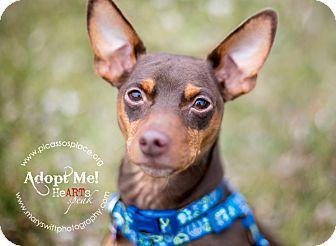 Miniature Pinscher Dog for adoption in Myersville, Maryland - Rex