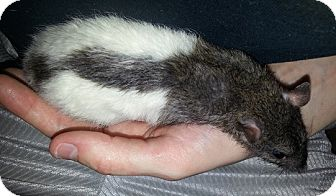 Rat for adoption in Lakewood, Washington - Agouti Hood to Tail