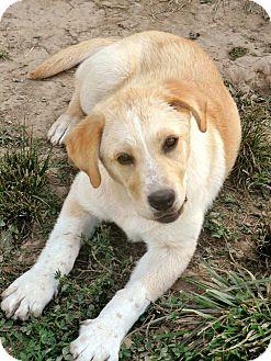Pet not found Yellow Lab Australian Shepherd Mix