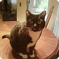 Adopt A Pet :: Domino - Laguna Woods, CA
