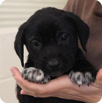 Labrador Retriever Mix Puppy for adoption in Atlanta, Georgia - Google