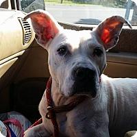 Adopt A Pet :: Banilla - Phoenxville, PA