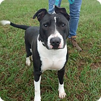 Bull Terrier/American Staffordshire Terrier Mix Dog for adoption in Sarasota, Florida - Dominic