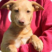 Adopt A Pet :: Juliet~meet me~ - Glastonbury, CT