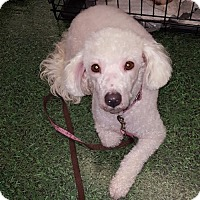 Adopt A Pet :: Pebbles - Grand Prairie, TX