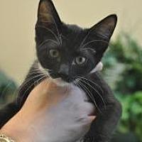 Domestic Shorthair Kitten for adoption in Pompano Beach, Florida - Sage