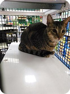 Domestic Shorthair Cat for adoption in Orlando, Florida - Stripes (SLK) 5.28.15