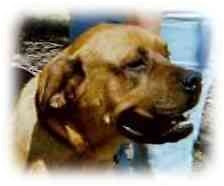 Bullmastiff Dog for adoption in Oviedo, Florida - Madigan