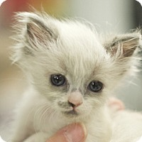 Adopt A Pet :: Clara - Great Falls, MT